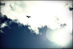 Surcando los cielos (gheckosombrero) Tags: light sky cloud sun luz sol contrast photo flickr foto image hawk picture cielo contraste sombrero fotografia nube imagen fotography aguila ghecko halcon gheckosombrero