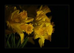 glorieus moment (Zino2009 (bob van den berg)) Tags: sunset black happy zonsondergang dof bunch thuis geel bloemen deventer narcis osterglocken vrolijk retteketet vaasje abigfave bunchofdaffodils bosjenarcissen eengeletrompet naastdebuis