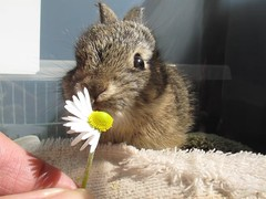 Baby wild bunny eats a daisy (Mary Cummins) Tags: california wild rescue baby rabbit bunny animal losangeles wildlife bun broker rehabilitation appraisal appraiser animaladvocates marycummins marycumminscobb marycobb wildliferehabilitator animaladvocatesus marycumminscom marykcummins cumminsrealestateservices