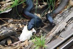 Sharing? I Don't Give A Rat's A... (gecko47) Tags: zoo reptile snake sydney australia feedingtime tarongazoo blacksnake pseudechisporphyriacus redbelliedblacksnake