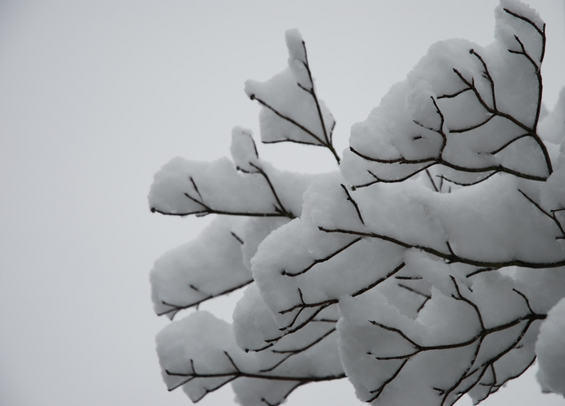 Snow on Tree
