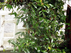 Rainy Day Bay (flit) Tags: california santacruz plant tree green outdoors bay leaf unitedstates 2010 identified baylaurel laurus laurusnobilis identifiedplant goldenbaylaurel laurusnobilisaereus