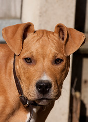 Charley #3 (chrisvinten) Tags: dogs puppy funny terrier staffodshire staffodshirebullterrier