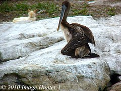 Ok Cat, Don't Even Think About It! (Image Hunter 1) Tags: cat mexico island rocks lagoon pelican acapulco brownpelican piedelacuesta raynox 22x lagunadecoyuca panasonicfz35 2025hd