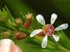 xxxXX O (...anna christina...) Tags: flowers brazil plant flower macro nature brasil garden plantas natureza goiás naturesfinest annachristina annachristinaoliveira