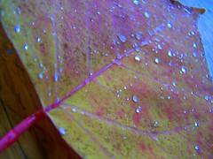 Omalanthus populifolius-25 (YAZMDG (15,000 images)) Tags: trees plants forest flora nsw euphorbiaceae rainbowregion omalanthus australianspecies nswrfp yazminamicheledegaye northernriversspecies