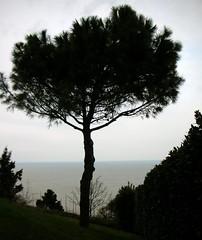 ...laggi, dove il mare  pi blu... (rebranca46) Tags: blue friends italy panorama seascape tree nature blu albero pino marche adriaticsea treesubject rebranca fiorenzuoladifocarapu updatecollection allegrisinasceosidiventa