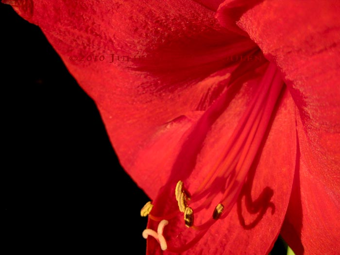 A brilliant red amaryllis is deeply revealed in intimate detail.