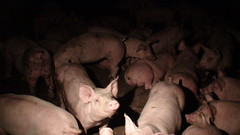 Piglets confined to barren, concrete pen in Ontario factory farm (Twyla Francois) Tags: food ontario canada hot animal neglect concrete pig bacon market tail confine ham pork smell waste swine piglet filth barren weight barrow abuse feces odor confined treatment feedlot odour stench cruel ethical ilo injure amputate cafo deprive