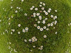 Universo ao meu redor (Isidr☼ Cea) Tags: flowers flores verde green primavera spring fisheye campo margaritas acoruña ojodepez domingueando peleng8mmf35fisheye olympuse520 isidrocea