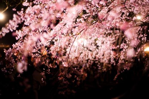 *cherry blossom*