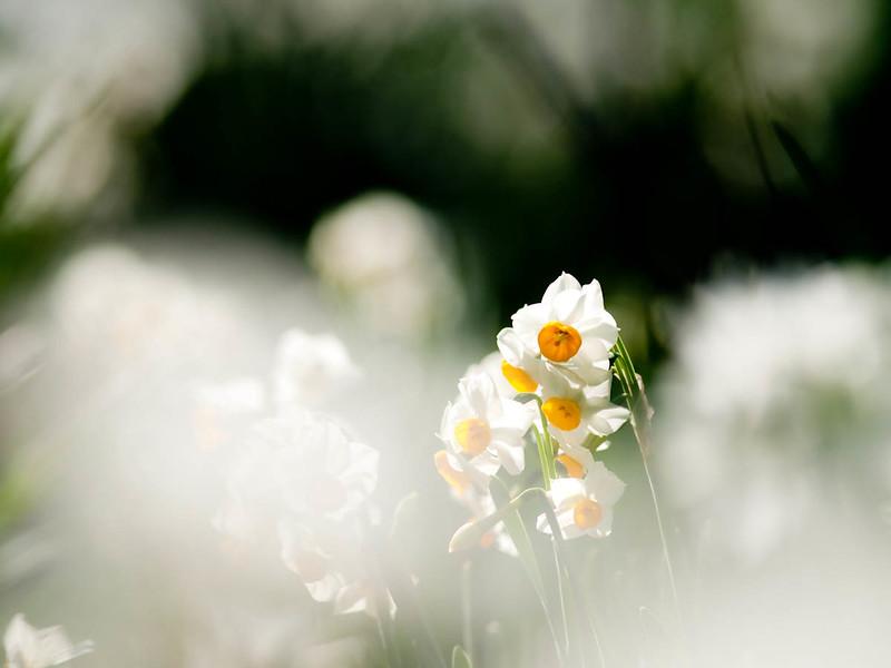 【色別】水仙の花言葉の意味や由来・怖い意味や恋愛についての花言葉