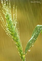 :) (mzna al.khaled) Tags: flowers flower green beautiful rain yellow drops focus bokeh saudi natrue
