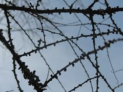 Tamarack branches (CaZaTo Ma) Tags: spring plantae mbg tamarack larixlaricina
