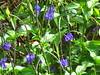 Commonly called 'wild mint', these blue flowers taste like mushrooms. (chuck b.) Tags: beach hawaii mokolea kauai kauaibeach