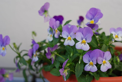 Viola in its second year