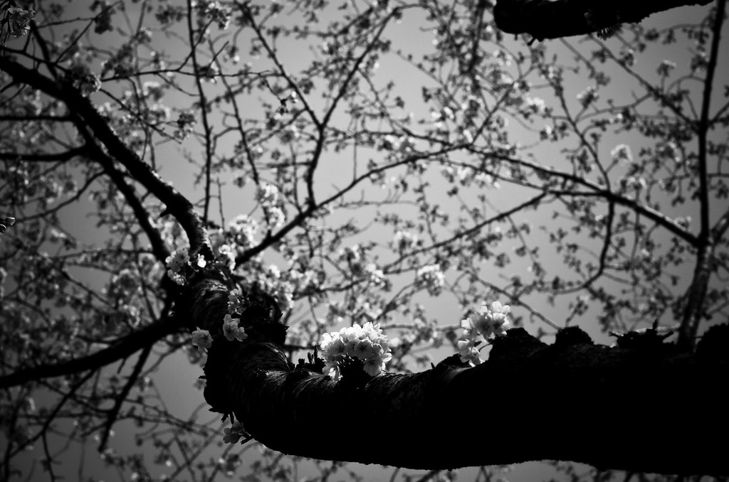 cherry blossoms #3