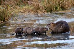 Seven little ones!     (3 cute nutria shots?) (Garebear400) Tags: ice babies nutria ridgefield fantasticnature
