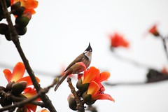 hello~~ i m a  Red-whiskered Bulbul  (Melinda ^..^) Tags: red plant tree bird birdie spring melinda macau   ceiba   cottontree redwhiskeredbulbul  bombax bombaxceiba mountfortress chanmelmel whiskeredbulbul