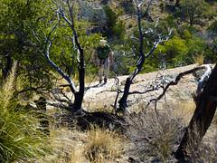 Jeremy making his way up the hill (j2davis2005) Tags: arizona hiking jeremy saguaronationalpark