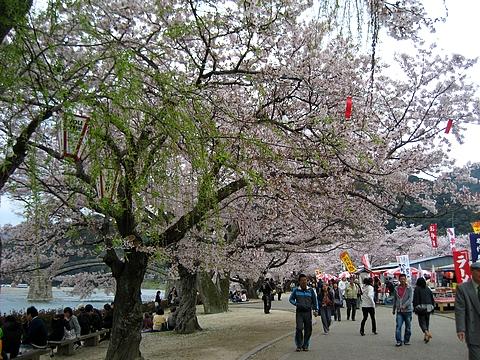 錦帯橋 花見7