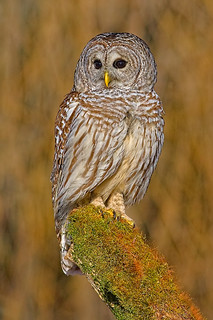 Barred_Owl_033