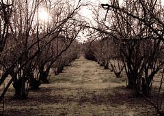 (JOSHUAmiranda) Tags: trees green grass lines forest dark rocks walks long nuts line soil dirt rows bark far patches slope sticksbranches