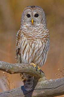 Barred_Owl_040