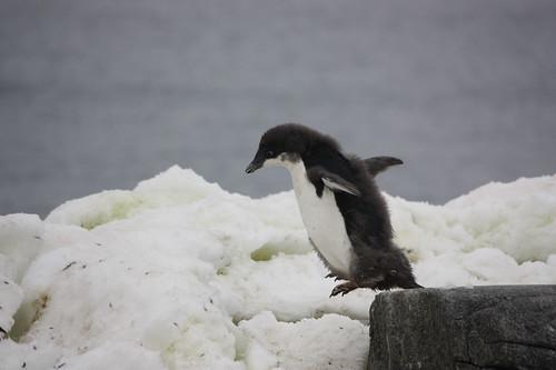 Antarctica Adelie[1]