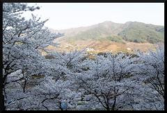 HADONG Cherry Blossom XVI (Flitze50) Tags: cherry spring blossom korea cherryblossom southkorea fruehling kirschbluete hadong hwagae