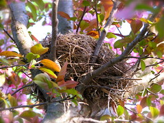 Robin Nest in Flowering Plum Tree (Rhonda Murr) Tags: bird nature nest wildlife birding birdsnest floweringplum robinsnest floweringplumtree