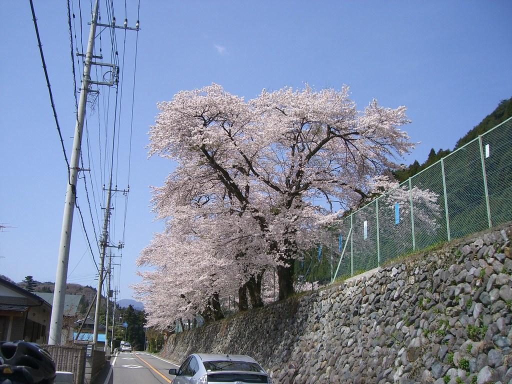 道志の桜は今が満開