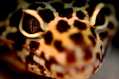 Eyes (JPBWright) Tags: macro up photography sand close skin reptile grains lizards leopardgecko detial jameswright canon100mmf28 jpbwright jameswrightphotography