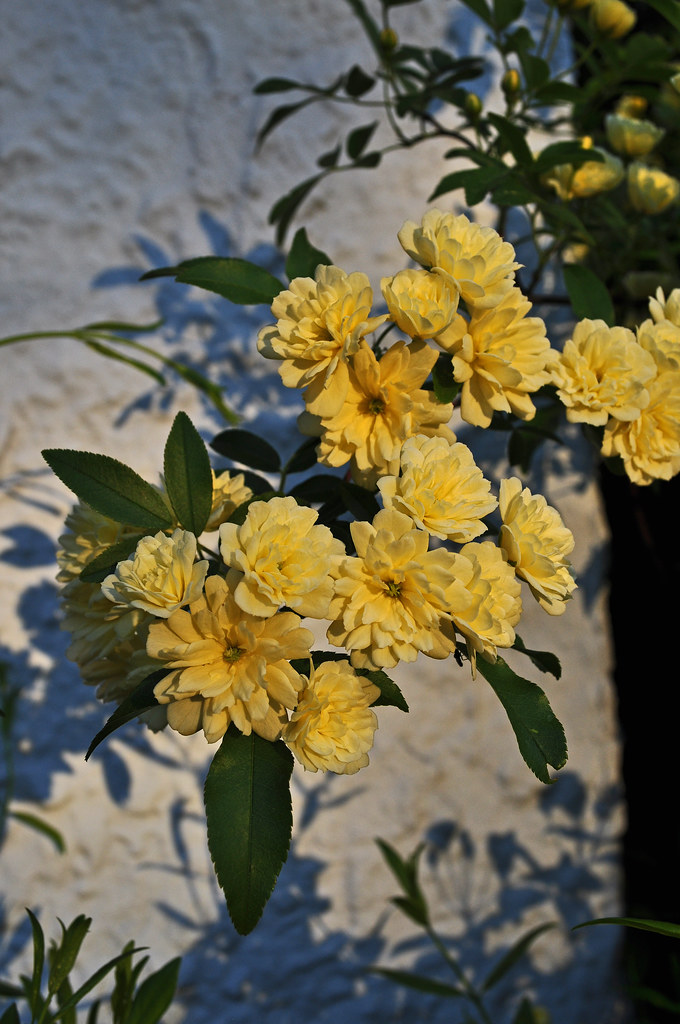 Rosa banksiae 'Lutea' (Lady Banks Rose)
