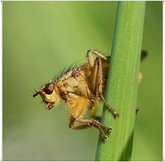 Strontvlieg -  (C-79) Tags: macro nature nederland natuur insects april 2010 insecten noordbrabant canonef100mmmacrousm vierkant strontvlieg yellowdungfly canoneos400d dungflies oranjepolder gelbedungfliege dungfliegen drekvliegen