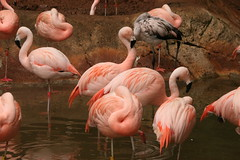 "Pink flamingoes • <a style=""font-size:0.8em;"" href=""http://www.flickr.com/photos/30765416@N06/4528614603/"" target=""_blank"">View on Flickr</a>"