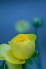 A new day (alan shapiro photography) Tags: flower closeup blossom exploring suburbia bloom flowering canonrebel blossoming bud wandering 2010 blooming roaming alanshapiro momentsoftruth ashapiro515 canonrebelt1i ©2010alanshapiro alanshapirophotography wwwalanwshapiroblogspotcom ©2010alanshapirophotography