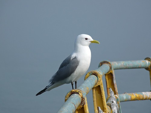 12264 - Kittiwake on Mumbles Pier