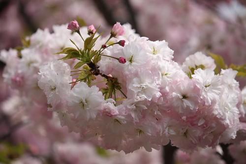 造幣局~桜の通り抜け~