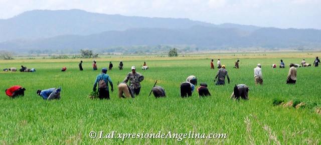 Campo de arroz en Angelina Cotui