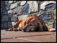 Toten sleeps (Iker Agirre) Tags: dogs perros hdr txakurrak firsthdr hdrfromonesimpleraw