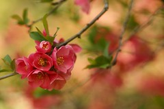 Spring~~~The Promise (hotes trinkets/DaydreamingKat) Tags: pink ohio flower macro nature garden spring natural bokeh nocrop floweringquince sooc straightfrommycamera nocolorsadded sonyalphadslra700 absolutelynatural hotestrinkets springthepromise