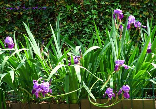 fiori e totanetti aprile 2010 003