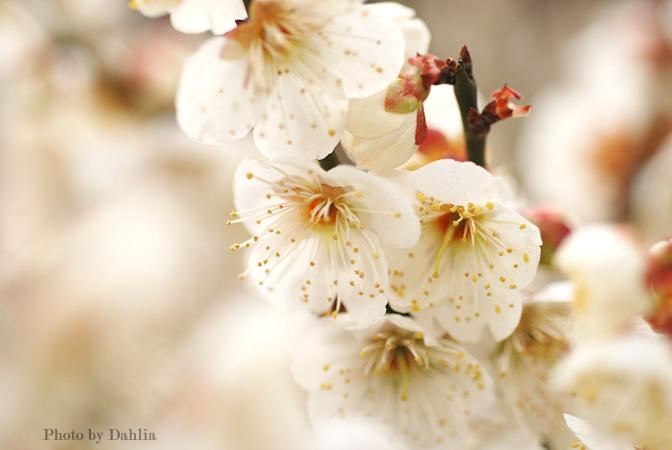 世纪公园的梅花展