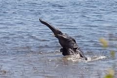 Water fun (proefdier) Tags: africa elephant canon botswana elefant kasane zambesi loxodontaafricana 50d ef100400l