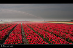 Watering the Tulips... (Alex Verweij) Tags: red color colour water netherlands lines canon tulips dry explore tulip growing rood flevoland tulpen lijnen droog tulp akker 40d dedoka alexverweij besproeien