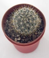 Mammillaria Duwei (siwa) Tags: cactus cacti suculent kaktus mammillaria kaktusy sukulent mammillariaduwei