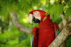 (Dumarafon) Tags: red bird nature brasil nikon bonito aves ms macaw arara d300 animalkingdomelite psitacideo