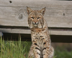 local bobcat ( lynx rufous ) (William Jensen Photography) Tags: canon bobcat lynx californianative canon300mmf4lis 14xtelextender lynxrufous