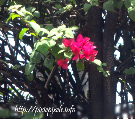 april 8: bougainvillea along the highway